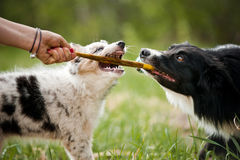 Oude hond border collie en puppy het spelen Royalty-vrije Stock Fotografie