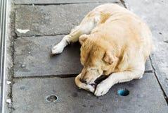 Oude hond die op de vloer rusten Stock Foto