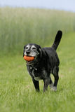 Oude hond met dogtoy Stock Foto's