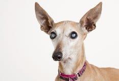 Oude hond met oogcataract Royalty-vrije Stock Foto's
