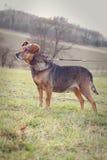 Oude hond op een leiband Royalty-vrije Stock Foto's