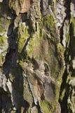Oude houten textuur en Korstmos op de schors van de hackmatacklariks stock fotografie