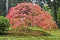 Oude Japanse Esdoornboom in de Herfst Stock Afbeeldingen
