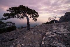 Oude jeneverbessenboom op rotsachtige kust van de Zwarte Zee Royalty-vrije Stock Afbeeldingen