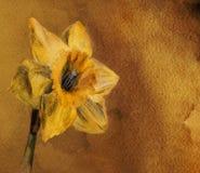 Oude kaart met Narcissen stock foto's