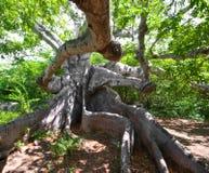 Oude kapokboom Royalty-vrije Stock Foto's