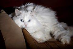 Oude kat. Stock Foto's
