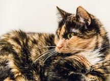 Oude kat Royalty-vrije Stock Afbeelding