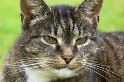 Oude kat Stock Foto