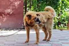 oude kettings rode hond met een kwaadaardige inoperabele tumor op het gezicht op het gebied van de neusholte Stock Foto
