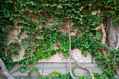 Oude klimop op de bruine muur. Stock Afbeeldingen