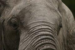 Oude, knapperige olifant Stock Foto