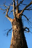 Oude knoestige boom stock afbeelding