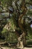 Oude knoestige boom Stock Afbeeldingen