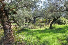Oude knoestige olijfbomen met rotsmuren en sinaasappelen op de achtergrond dichtbij Kalamata Griekenland Royalty-vrije Stock Foto