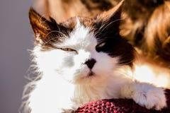 Oude knorrige kat op schoudermens Royalty-vrije Stock Afbeelding
