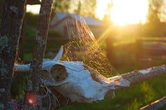 Oude koe scull met spiderweb en de zon stock foto's