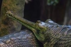 Oude krokodil, Gavial, scherpe tanden royalty-vrije stock foto