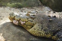 Oude krokodille hoofdclose-upfoto Krokodil scherpe tanden en geschraapte huid stock afbeelding
