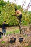 Oude landbouwer en vrouwen het plukken pruimen Royalty-vrije Stock Foto