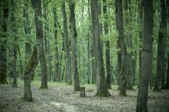 Oude lange bomen met mos in bos stock afbeeldingen