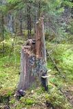 Oude lange boomstomp met paddestoel Stock Afbeelding
