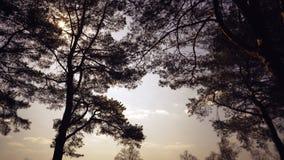 Oude lange pijnbomenpinery slingering in de wind tegen de hemel Boomboomstammen die, sissende takken slingeren In de herfst, spri royalty-vrije stock foto's