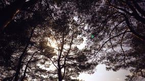 Oude lange pijnbomenpinery slingering in de wind tegen de hemel Boomboomstammen die, sissende takken slingeren In de herfst, spri royalty-vrije stock fotografie