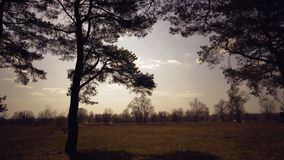 Oude lange pijnbomenpinery slingering in de wind tegen de hemel Boomboomstammen die, sissende takken slingeren In de herfst, spri stock afbeeldingen