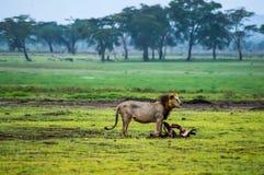 Oude leeuw voor een karkas van het meest wildebeest in de savanne van stock fotografie