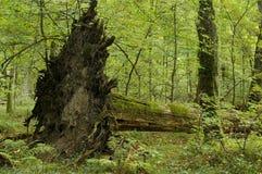 Oude lindeboom neer gevallen Stock Afbeeldingen