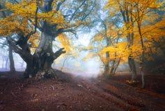 Oude magische boom met grote takken en oranje en rode bladeren stock fotografie