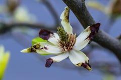 Oude magnolia royalty-vrije stock foto's