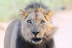 Oude mannelijke leeuw Stock Foto's