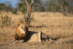 Oude mannelijke leeuw het letten op hyena's dicht tegen vroege ochtend royalty-vrije stock foto's
