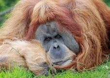 Oude mannelijke Orangoetan 03 Stock Afbeelding