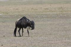 Oude mannelijke Witte gebaarde Wildebeest die door Afric wandelt Stock Foto's