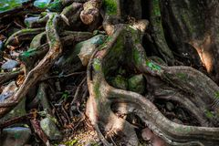 Oude massieve boom met bizarre bochtige wortels, takken en holten royalty-vrije stock fotografie