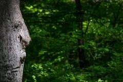 Oude Mensenboom die Uw Presentatie bekijken stock fotografie