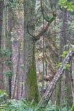 Oude monumentale eiken boom in vergankelijke fores royalty-vrije stock foto's