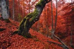 Oude, mos-behandelde eenzame boom die zich op een helling bevinden, die dik met rode gevallen bladeren wordt uitgestrooid Stock Afbeeldingen