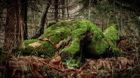 Oude mos-behandelde rottende boomstomp in het bos Royalty-vrije Stock Fotografie