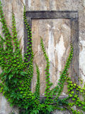 Oude muur met klimop Stock Afbeeldingen