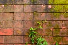 Oude muur met wijnstok en mos Stock Afbeelding