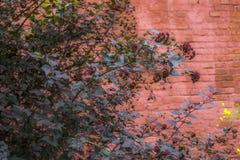 Oude muur van rode bakstenen, rode struik, natuurlijke achtergrond Royalty-vrije Stock Fotografie