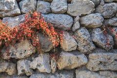 Oude muur van ruwe steen en installatieephedrahorsetail met rood stock foto