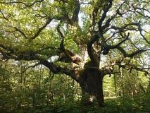 Oude oaktree Royalty-vrije Stock Afbeelding