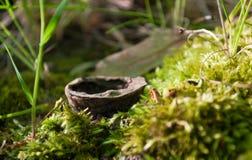 Oude okkernoot op mos regelmatig dicht in nadruk stock fotografie