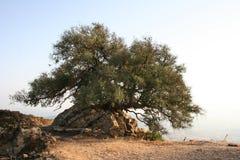 Oude olijf-boom Stock Afbeeldingen
