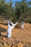 Oude olijfbomen Stock Foto